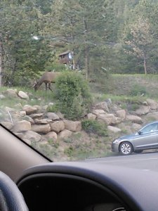 Elk right outside our car! They're pretty normal around those parts.
