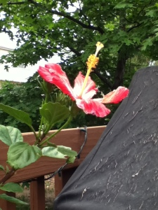 My mom's hibiscus plant is finally flowering!
